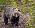Free Grizzly Bear Royalty Free Stock Image - 19681496
