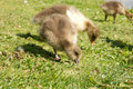 Free Baby Geese Eating Stock Photo - 19682050