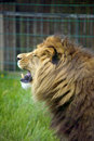 Free Male Lion Stock Images - 19682954