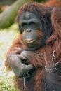 Free Captive Orangutang Royalty Free Stock Photos - 19683088