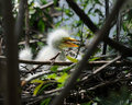 Free Perky Egret Chick Royalty Free Stock Image - 19687956