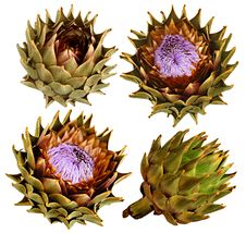Free Four Picture Of Artichoke Stock Images - 19680264
