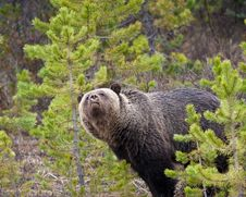 Free Grizzly Bear Stock Image - 19681531