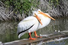 Free 2 White Pelicans Stock Images - 19682064
