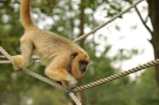 Free Howler Monkey Stock Photos - 19682723