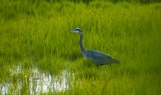 Free Heron Stalking In The Grass Royalty Free Stock Photo - 19682755