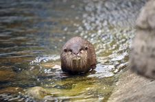 Free Beautiful Otter Stock Photos - 19682993