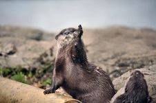 Free Beautiful Otter Royalty Free Stock Photos - 19683058