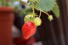 Free Strawberries Royalty Free Stock Image - 19683116