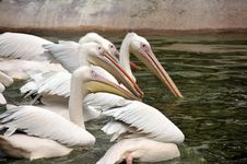 Free Group Of Pelicans Stock Photos - 19683153