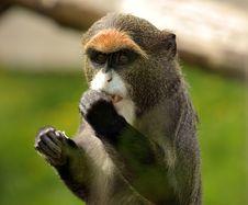Free De Brazzas Monkey Stock Image - 19683181