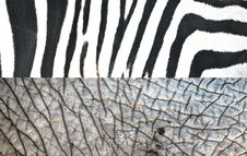 Free Texture Of Zebra And Elephant Royalty Free Stock Photos - 19683218