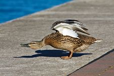 Free Duck Royalty Free Stock Photography - 19685297