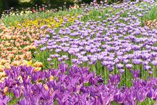 Free Violet Tulips On Flowerbed Royalty Free Stock Images - 19687229