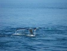 Free Humpback Whale Tail Stock Photos - 19687333