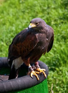 Free Hawk . Royalty Free Stock Images - 19688559