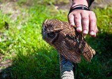 Free Owlet . Stock Photo - 19688610
