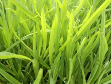 Free New Grass Royalty Free Stock Photo - 19688615