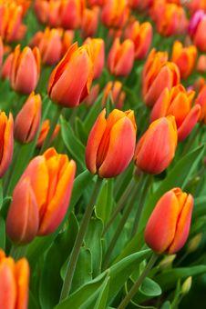Free Red-orange  Tulips . Royalty Free Stock Photos - 19689128