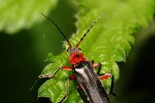 Free Bug (Cantharis Fuscaon) Tree Sheet Stock Image - 19689221