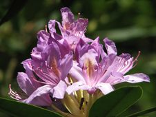 Free Rhododendron Stock Photo - 19689420