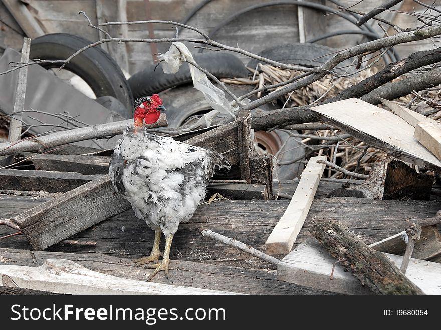 Hen between trash on farm yard