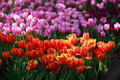 Free Red And Pink Tulip Stock Photos - 19690213