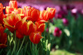 Free Red And Pink Tulip Stock Photos - 19690243