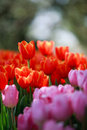 Free Red And Pink Tulip Royalty Free Stock Photo - 19690435