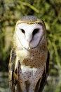 Free Barn Owl Stock Image - 19692071