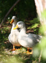 Free White Domestic Duck Stock Photography - 19694702