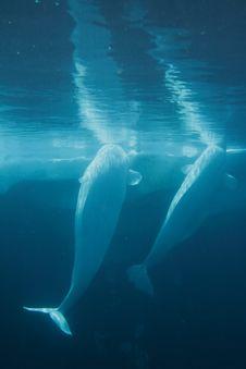 Free White Beluga Whale Stock Images - 19690084