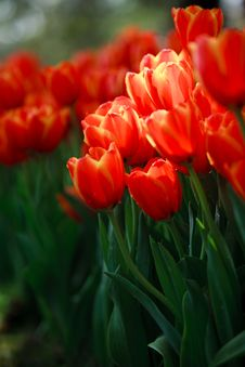 Free Red Tulip Stock Image - 19690241