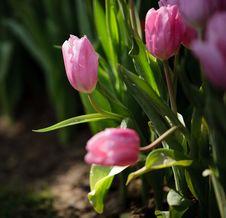 Free Pink Tulip Stock Photos - 19690353