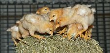 Poultry Signals - Young Free Range Chickens Stock Photos