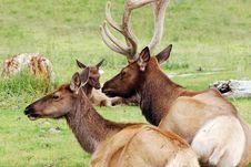 Free Elk In Alaska Stock Photos - 19691183