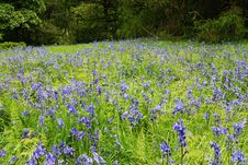 Free Bluebells Royalty Free Stock Photography - 19691197