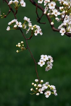 Free Pear Flowers Royalty Free Stock Image - 19691336