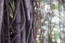 Free The Vine Involves Banyan Ancient Tree Royalty Free Stock Photography - 19692267