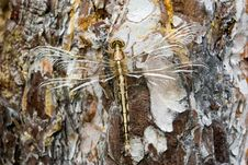 Free Dragonfly Full-length Royalty Free Stock Photo - 19692295