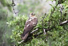 Free Galapagos Eagle Royalty Free Stock Image - 19692866