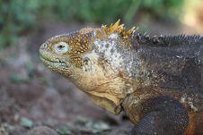 Free Iguana Stock Image - 19693231