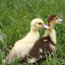 Free Ducklings Royalty Free Stock Photos - 19693428