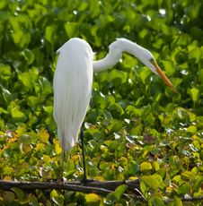 Free Great Egret Royalty Free Stock Image - 19693766