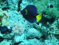 Free A Blue Fish At Sharm El Sheikh, Egypt Stock Image - 19695001