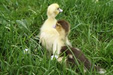 Free Ducklings Royalty Free Stock Image - 19695096