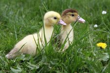 Free Ducklings Stock Photography - 19695762