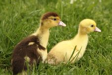 Free Ducklings Stock Photo - 19695820
