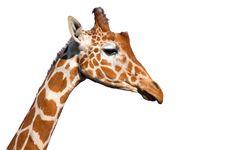 Free Giraffe Head Stock Photography - 19695852