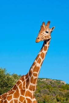 Free Giraffe Against Blue Sky Stock Images - 19695894
